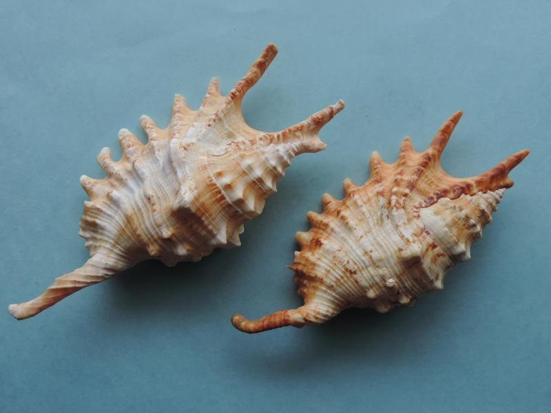 Strombidae Ophioglossolambis digitata - (Perry, 1811)  Dscn1213