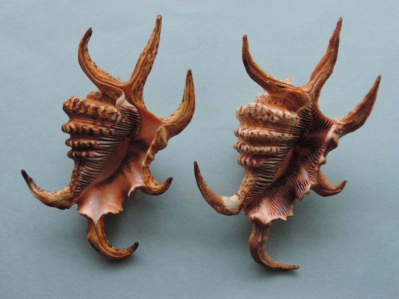 Harpago arthriticus - (Röding, 1798)  Dscn1214