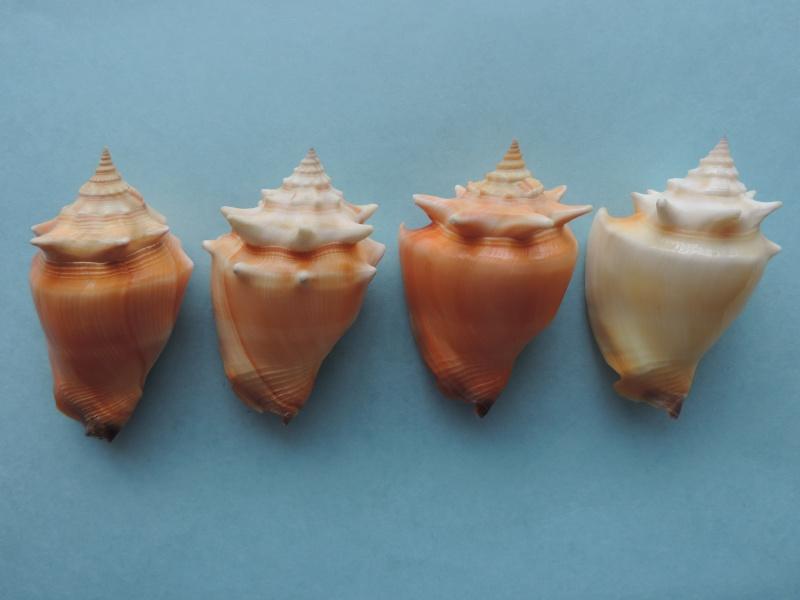 Strombus pugilis - (Linnaeus, 1758) Dscn1217