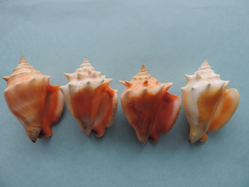 Strombus pugilis - (Linnaeus, 1758) Dscn1218