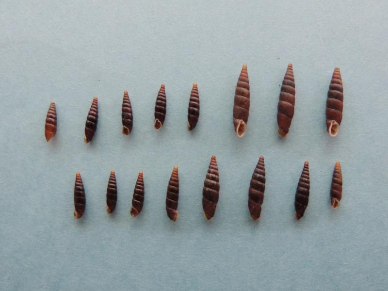 Clausilia rugosa parvula (Férussac, 1807) Dscn1416