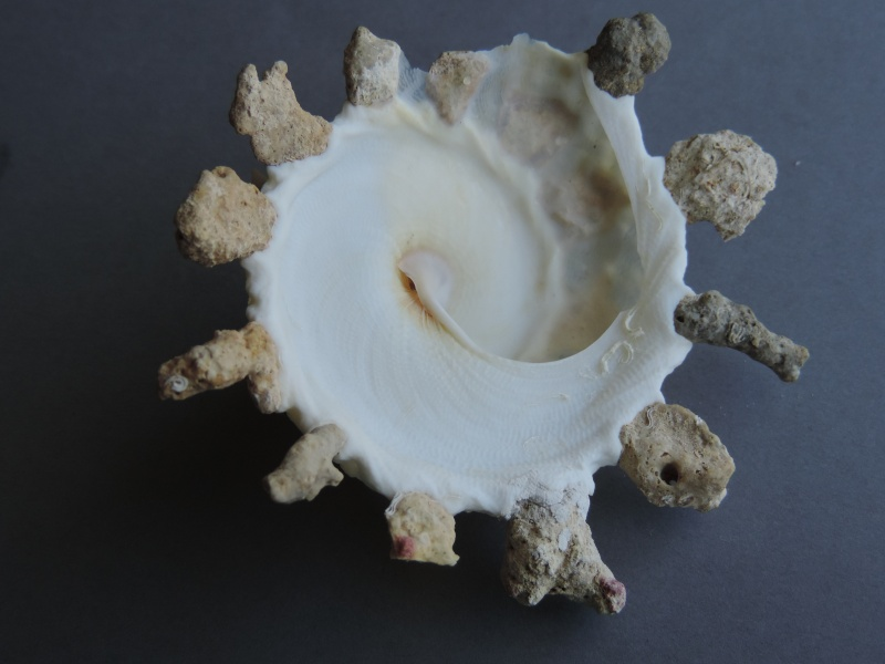 Xenophora granulosa - Ponder, 1983  Dscn1458