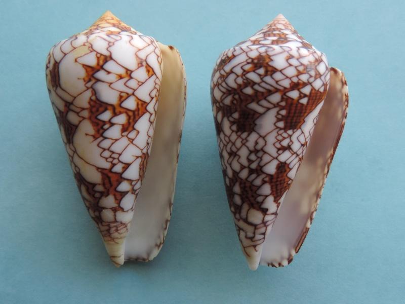 Conus (Cylinder) neovicarius   da Motta, 1982 - Page 2 Dscn1513