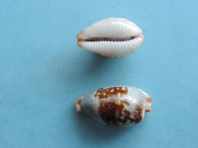 Bistolida erythraeensis - (G. B. Sowerby I, 1837) Dscn1524
