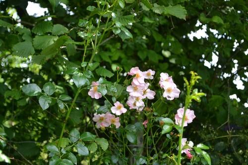 """Mela Rosa """"Plein feu sur les roses"""" 14-15 juin 2014 - Page 3 01112"""