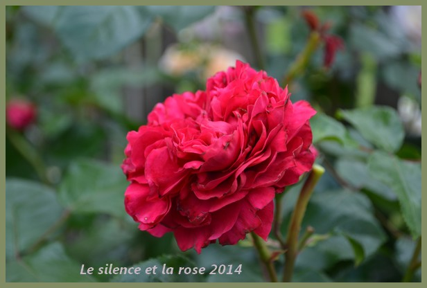 Red Leonardo da Vinci (Meilland 2004) 610