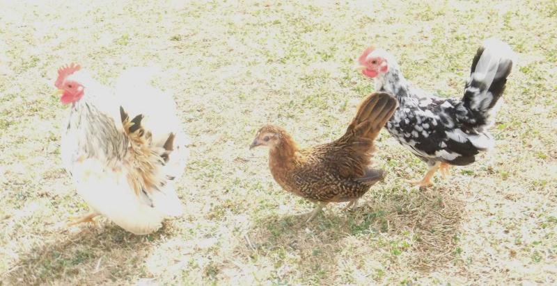 Poussins de poule Naine Allemande  Dscf2412