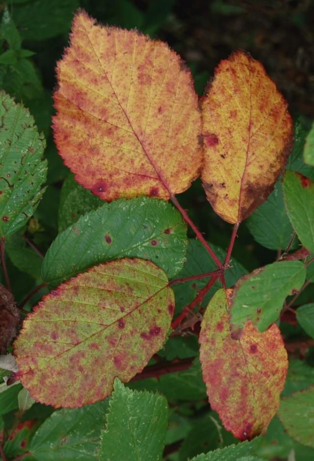 Rubus - le genre - culture, questions... Rubus_10