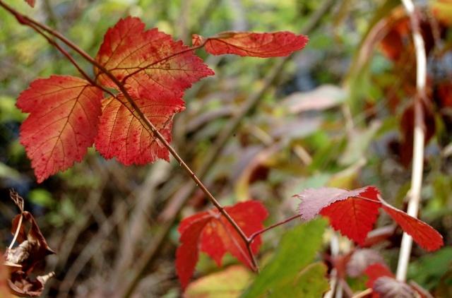 Rubus - le genre - culture, questions... Rubus_12