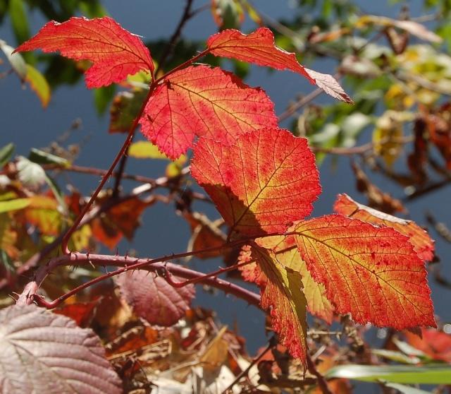 Rubus - le genre - culture, questions... Rubus_13