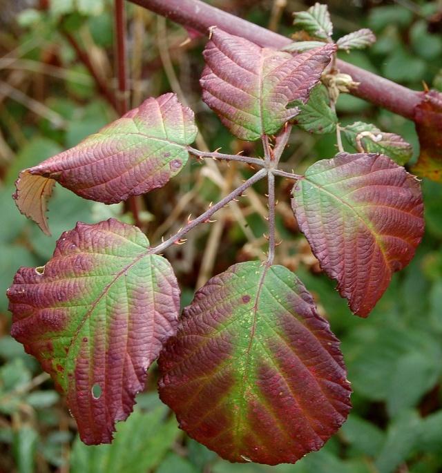 Rubus - le genre - culture, questions... Rubus_14