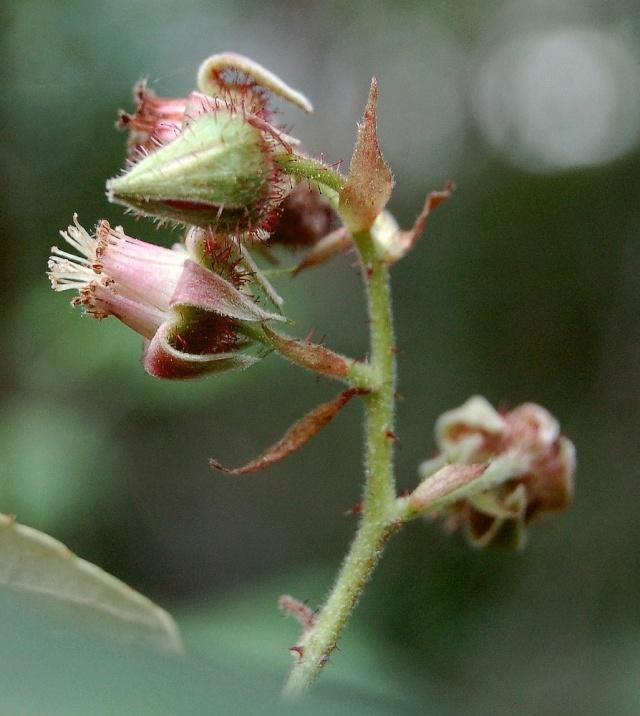 Rubus - le genre - culture, questions... Rubus_15