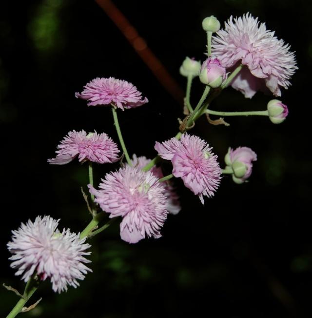 Rubus - le genre - culture, questions... Rubus_19