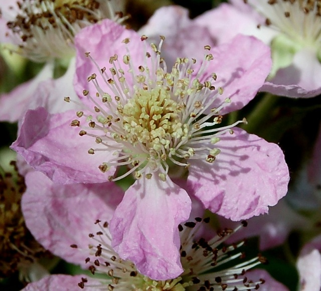 Rubus - le genre - culture, questions... Rubus_21