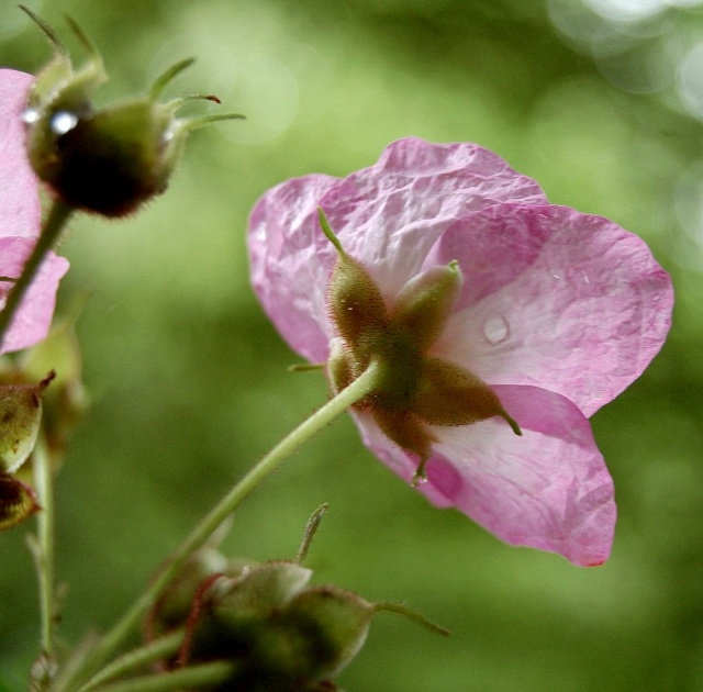 Rubus - le genre - culture, questions... Rubus_22
