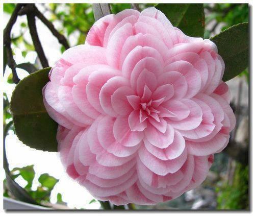 Dis-moi qui est la plus belle... Fleur_15