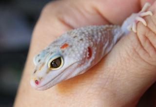 notre passion les geckos