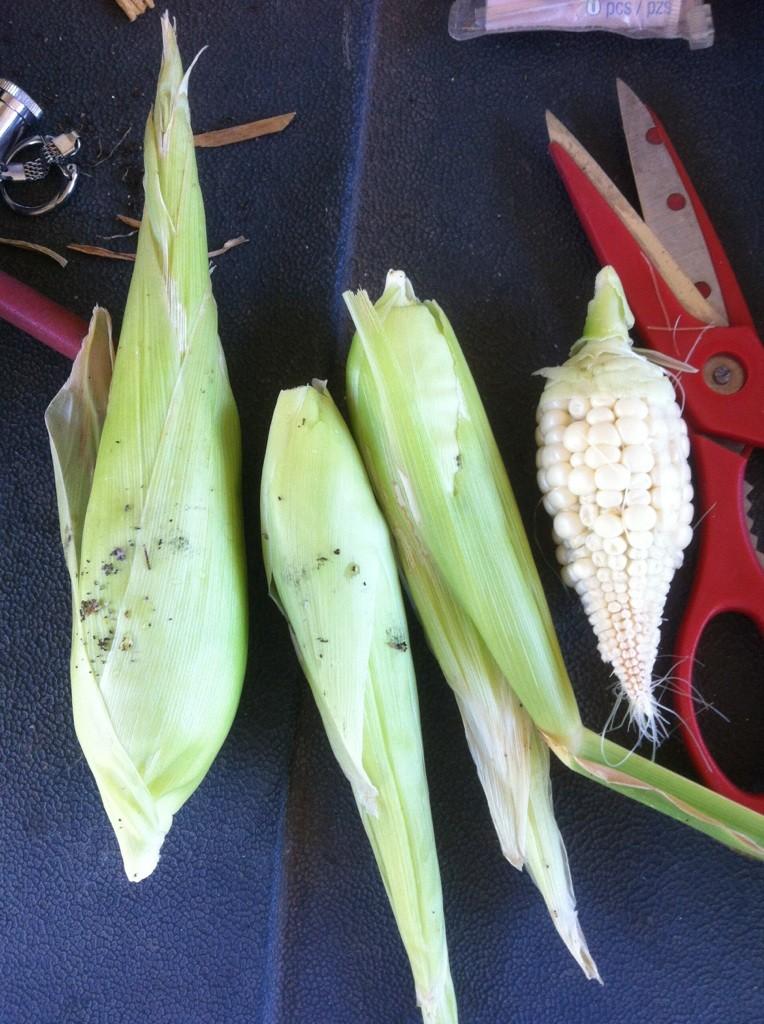 Corn Question Corn_h10