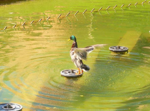 Les photos insolites du Resort - Page 23 Canard10