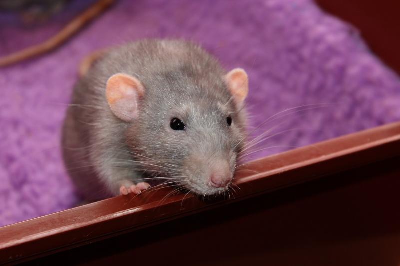 Les RatsCapables de Titia ! - Page 9 Img_7210