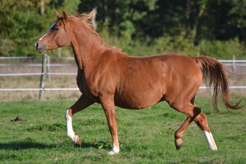 Heldon, PSAR ataxique, un cheval que l'on vouvoie Dsc_0915