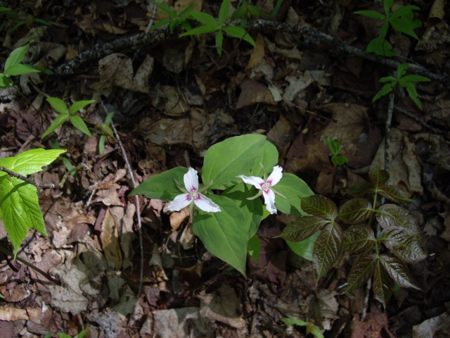 petite flore du Québec Imgp9313