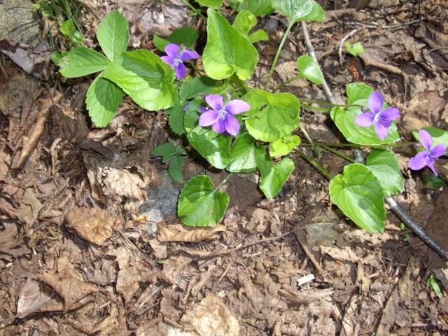 petite flore du Québec Imgp9315