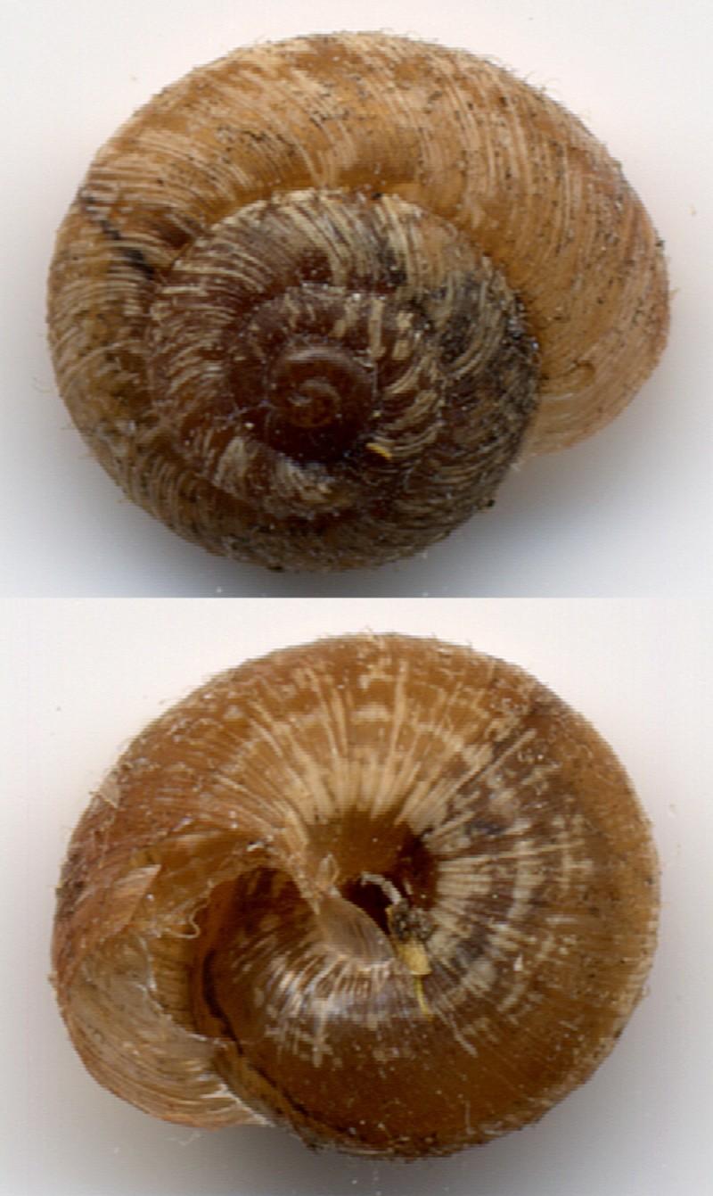 Xerotricha conspurcata (Draparnaud, 1801) Discus10