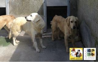 [12/05/2014] 6 chiennes - dpt Nord Golden10