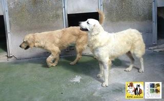 [12/05/2014] 6 chiennes - dpt Nord Golden11