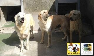 [12/05/2014] 6 chiennes - dpt Nord Golden12
