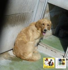 [12/05/2014] 6 chiennes - dpt Nord Golden13
