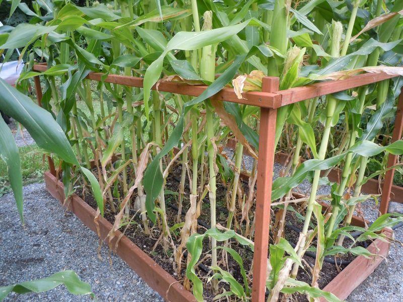 Corn Question Dscn3311