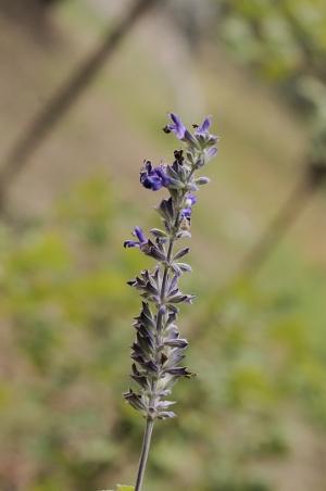 Salvia - les floraisons du moment - Page 12 Salvia11