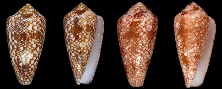 Conus (Darioconus) pennaceus rubropennatus  da Motta, 1982 voir Conus (Darioconus) pennaceus Born, 1778  Sans-t12