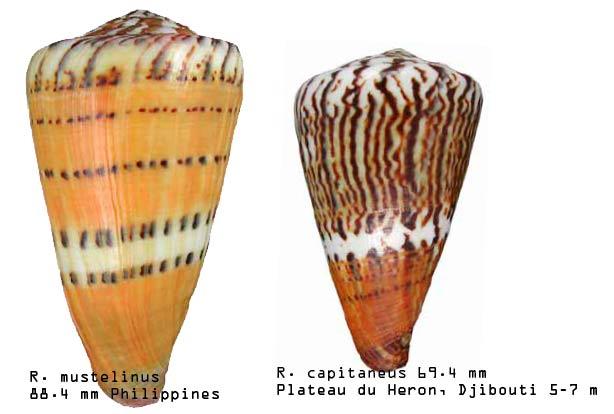 Conus (Rhizoconus) capitaneus   Linnaeus, 1758 - Page 3 Sans-t14