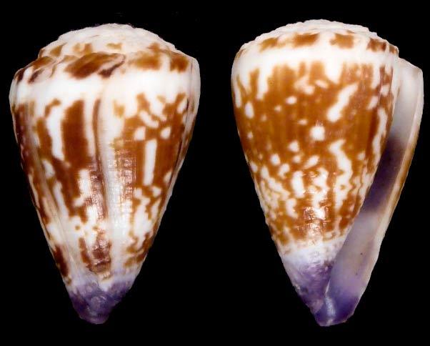Conus (Harmoniconus) nux   Broderip & Sowerby I, 1833 Sans-t17