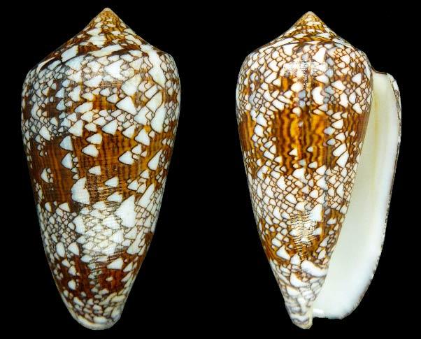 Conus (Cylinder) neovicarius   da Motta, 1982 - Page 2 Sans-t20