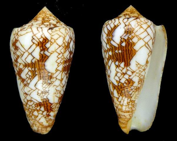 Conus (Cylinder) neovicarius   da Motta, 1982 - Page 2 Sans-t21