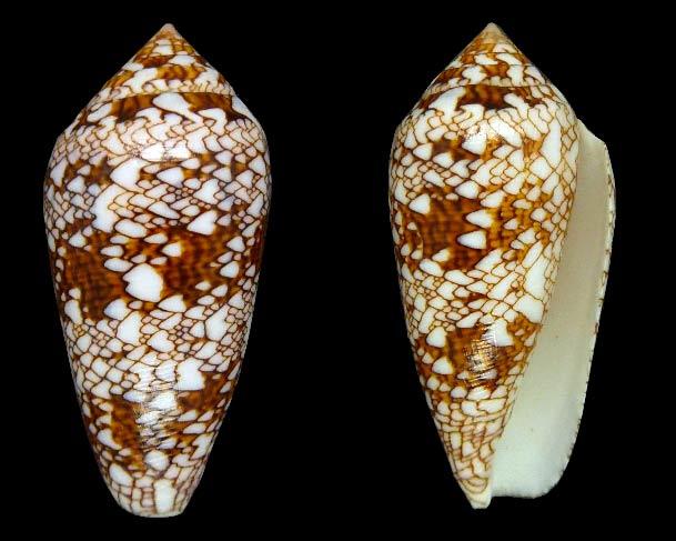 Conus (Cylinder) neovicarius   da Motta, 1982 - Page 2 Sans-t22
