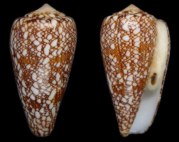 Conus (Darioconus) madagascariensis  Sowerby II, 1858 Sans-t24