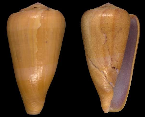 Conus (Darioconus) natalaurantius   Veldsman, 2013 Sans-t25