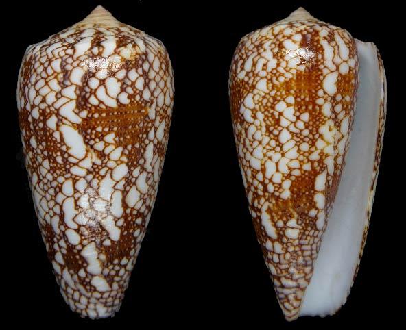 Conus (Darioconus) madagascariensis  Sowerby II, 1858 Sans-t26