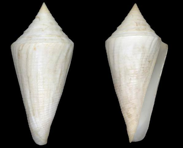 Conus (Dauciconus) coltrorum   Petuch & Myers, 2014 Sans-t55