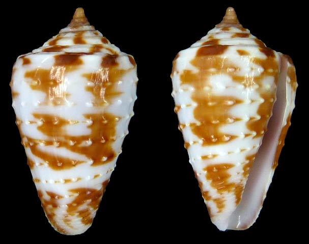 Conasprella (Ximeniconus) baccata    G. B. Sowerby III, 1877 Sans-t62