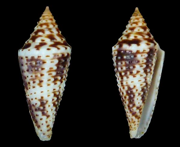 Ximeniconus (Globiconus) tornatus (Sowerby I, 1833) Sans-t63