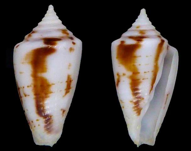 Conasprella (Ximeniconus) wendrosi (Tenorio & Afonso, 2013) - Page 2 Sans-t68