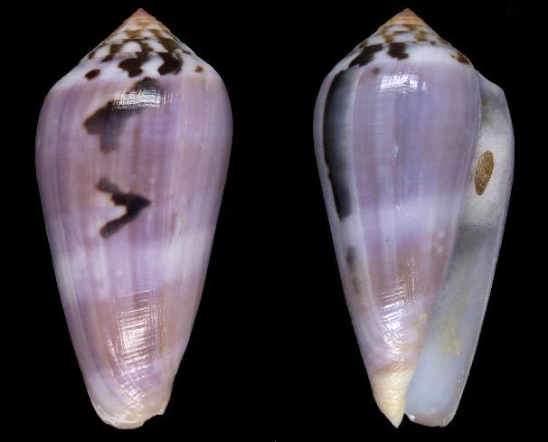 Conus (Pionoconus) fulmen   Reeve, 1843 Sans-t80