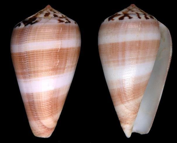 Conus (Pionoconus) fulmen kirai   Kuroda, 1956 Sans-t81