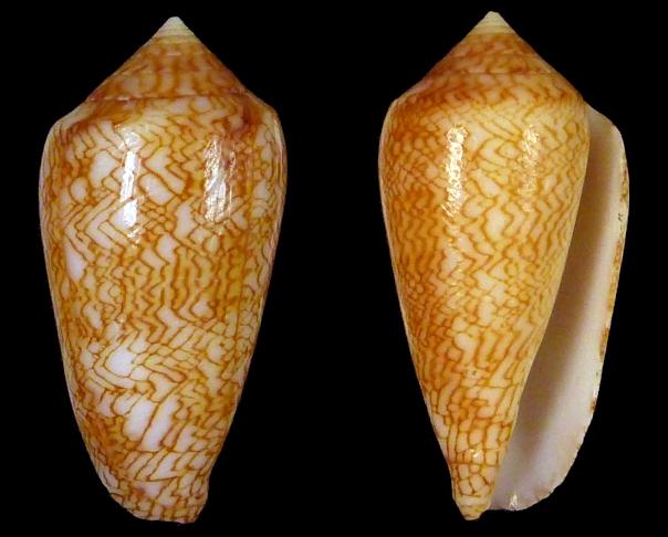 Conus (Cylinder) archiepiscopus suzannae   van Rossum, 1990 Sans_t10